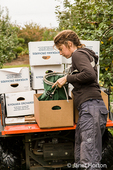 Young woman releasing her load of freshly-picked apples into a box in the Kiyokawa Family Orchards