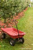 Honeycrisp apples on the ground in the Kiyokawa Family Orchards