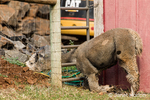 Alpaca with its head through the fence, at the Cascade Alpacas and Foothills Yarn & Fiber farm