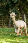 Alpaca at the Cascade Alpacas and Foothills Yarn & Fiber farm
