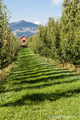 Bartlett pear trees and barn