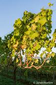 Grape vine at sunset