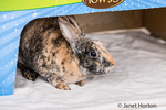 Harlequin Mini Rex pet rabbit in a cardboard box.