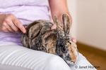Harlequin Mini Rex pet rabbit being brushed.