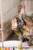 Harlequin Mini Rex pet rabbit eating an apple branch.