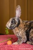 Harlequin Mini Rex pet rabbit eating a carrot top.