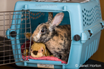 Harlequin Mini Rex pet rabbit in a pet carrier.