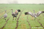 Three Sandhill Cranes doing courtship dance in a havested corn field