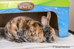 Harlequin Mini Rex pet rabbit in a cardboard box.