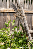 Snow peas growing on a teepee trellis at Fort Nisqually Living History Museum