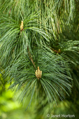 New growth on the branch tips of Western White Pine or Silver Pine or California Mountain Pine tree