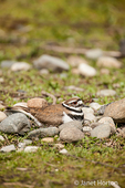 Killdeer sitting on a nest