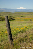 Wildflower scenic with Arrowleaf Balsamroot wildflowers in foreground and Mount Hood in the back