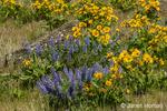 Arrowleaf Balsamroot and Columbia Gorge Broad-leaf Lupine wildflowers