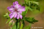 Northern Geranium or Crane's Bill wildflower
