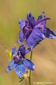 Nuttall's Larkspur wildflower
