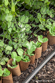 Snow peas seedlings with empty toilet paper rolls around them to protect from cutworms,