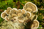 Turkey tail fungi