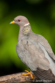 Band-tailed Pigeon close-up