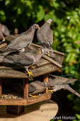 Flock of Band-tailed Pigeons cramming into a seed bird feeder in my backyard