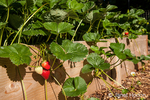 Strawberries growing in a raised bed garden
