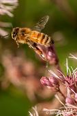 Honeybee flying between flowers it is pollinating in my backyard