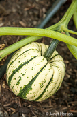 Sweet Dumpling winter squash