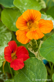 Close-up of nasturtium flowers growing in a vegetable garden as a companion plant