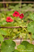 Nasturtium flowers growing in a vegetable garden as a companion plant