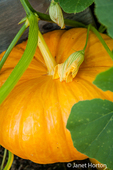 Pumpkin ready to harvest in a raised bed garden