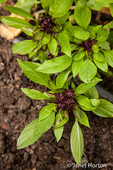 Thai basil plants growing