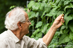 Man in his seventies harvesting Malibu pole green beans from his garden