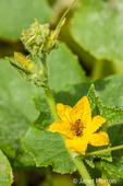 Honeybee pollinating an heirloom lemon cucumber blossom