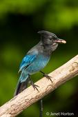Steller's Jay greedily stuffing three peanuts in its beak