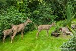 Mule deer does eating plants in my backyard