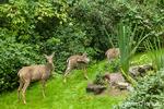 Mule deer does wondering about, eating plants in my backyard