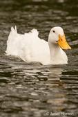 Pekin duck swimming in a pond