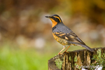 Varied Thrush standing on wine barrel with snow in it in a backyard in Issaquah, Washington, USA
