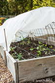 Collard greens, lettuce and strawberries growing in a hoop house raised bed garden in springtime in Issaquah, Washington, USA