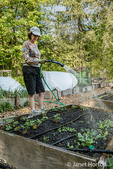 Woman hand-watering her raised bed garden after planting starts and seeds in Issaquah, Washington, USA