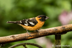 Male Black-headed Grosbeak on a dead branch above where feeders are hanging in Issaquah, Washington, USA