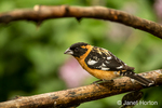 Male Black-headed Grosbeak on a dead branch above where I hang feeders in Issaquah, Washington, USA