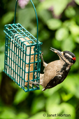 Male Hairy Woodpecker eating from awire basket suet feeder in Issaquah, Washington, USA