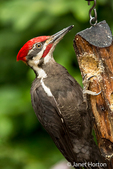 Male Pileated Woodpecker eating from a log suet feeder in Issaquah, Washington, USA