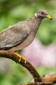 Band-tailed Pigeon perched on a dead branch in Issaquah, Washington, USA