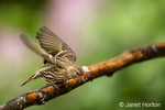 Female Pine Siskin taking off from a dead branch in Issaquah, Washington, USA