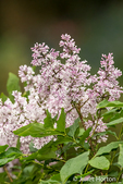 Littleleaf Lilac bush in bloom in Issaquah, Washington, USA
