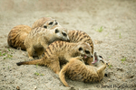 A mob (or clan or gang) of meerkats wrestling at the Woodland Park Zoo in Seattle, Washington, USA.  The meerkat or suricate (Suricata suricatta) is a small carnivoran belonging to the mongoose family.