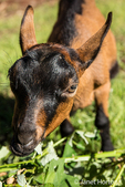 Close-up of a 11 week old Oberhasli goat eating blackberry bush vines, which it considers a treat, in Issaquah, Washington, USA