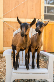 Two 11 week old Oberhasli goats posing on a white plastic chair in their enclosure  in Issaquah, Washington, USA